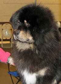 Mastif tybetański